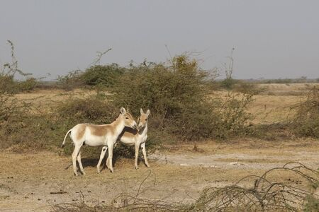 two wild asses on the little rann of kutch in gujarat india