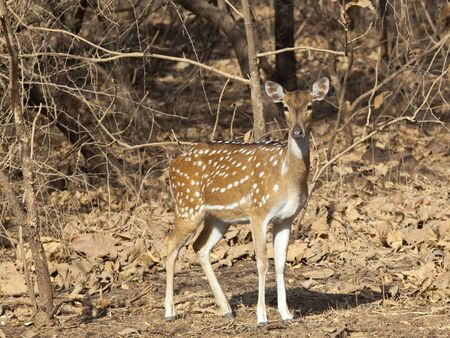 gir: a female spotted deer amongst dry leaves and trees on the wildlife reserve of sasan gir gujarat india