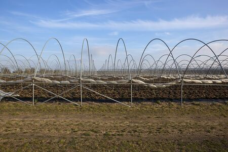 polythene: horticultural landscape with the framework of protective poly-tunnels over strawberry plants mulched with black polythene under a blue sky in winter with copyspace