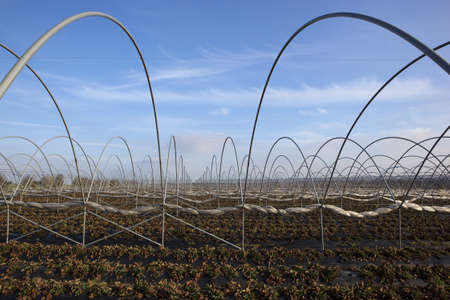 polythene: horticultural landscape with the framework of protective poly-tunnels over strawberry plants mulched with black polythene under a blue sky in winter