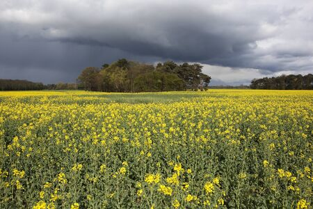 rural springtime landscape with stormy skies over a field of flowering canola and woodlands photo