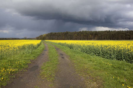 rural landscape with stormy springtime skies over a farm track running through flowering canola fields to distant woodlands photo