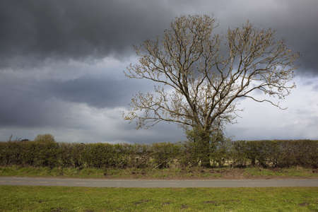 hedgerow: a stormy sky over a rural landscape with an ash tree bursting into new growth above a hedgerow and rural road and grass verge