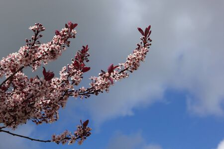 prunus cerasifera: the pink blossom and purple shoots of prunus cerasifera illuminated against a stormy springtime sky