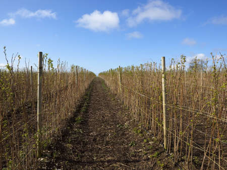 commercially: commercially grown raspberry canes under a blue sky in springtime