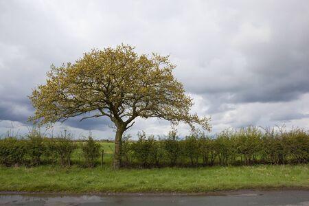 grass verge: paesaggio rurale, con un albero di quercia e siepi scoppiando in crescita su un ciglio erboso sotto un cielo nuvoloso in primavera