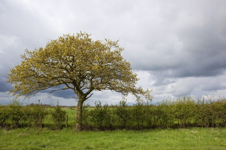 english oak: rural landscape with showery skies over an english oak tree growing on a grass verge in april