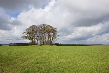 english oak: english springtime landscape with a grove of oak trees growing on an ancient tumulus or burial ground surrounded by a young barley crop under a stormy sky Stock Photo