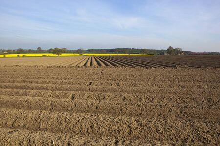 an arable landscape with pattern and texture of potato rows and yellow canola flowers under a hazy early morning sky Stock Photo - 13591671