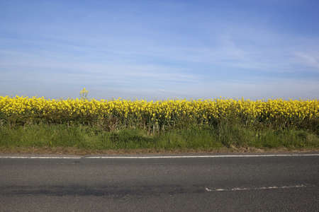 outdoor background with golden yellow canola flowers by a tarmac highway under a hazy blue sky in springtime photo