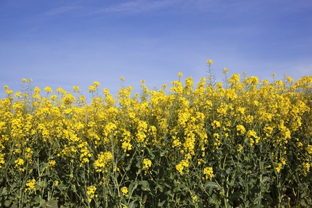 Golden yellow flowers of rape seed crop or canola under a hazy golden yellow flowers of rape seed crop or canola under a hazy stock photo picture and royalty free image image 13591673 mightylinksfo