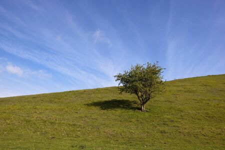 a springtime landscape with a lone hawthorn tree on a grassy hillside meadow under a blue sky with light streaky cloud patterns
