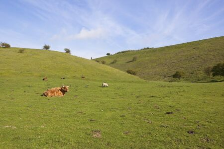 a springtime landscape with highland cattle and sheep in a grassy valley in the yorkshire wolds england Stock Photo - 13591669