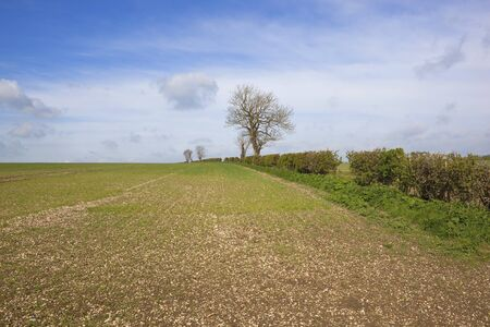 hedgerow: a chalky hillside arable field with hedgerow and trees on the yorkshire wolds under a blue cloudy springtime sky
