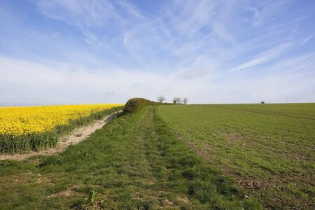 a springtime arable landscape with canola and wheat and hedgerows in the yorkshire wolds under a blue sky Stock Photo - 13626580