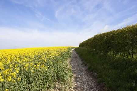 chalky: a hillside canola field with chalky soil near a hedgerow in the yorkshire wolds under a blue springtime sky