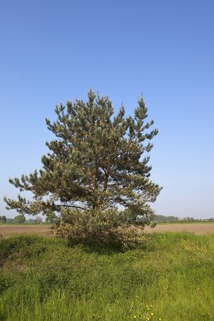 pinus sylvestris: a scots pine tree pinus sylvestris with young shoots and old cones growing by an arable field under a clear blue summer sky Stock Photo