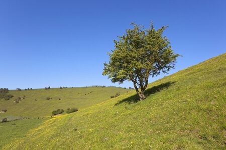 sloping: a lone hawthorn tree growing in a sloping meadow with buttercups and grazing sheep under a blue summer sky Stock Photo