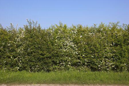grass verge: sfondo della natura con erba verde e biancospino hedgerow fioritura sotto un cielo blu chiaro