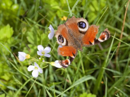 a ragged peacock butterfly inachis io on the flowers of milk maid cardamine pretensis photo