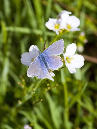 polyommatus: a male common blue butterfly polyommatus icarus feeding on the flowers of milk maid cardamine pretensis Stock Photo