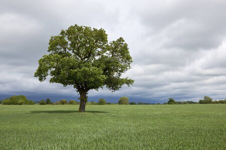 english oak: an english agricultural landscape with a lone oak tree in a field of wheat under a stormy sky in summer Stock Photo