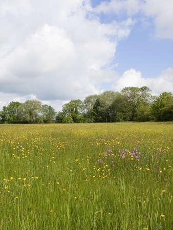 ragged robin: an english summer hay meadow with buttercups milk maids and ragged robin under a blue cloudy sky