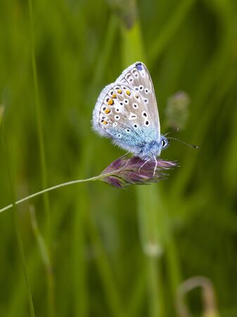 icarus: a male common blue butterfly polyommatus icarus on a grass flower in summer