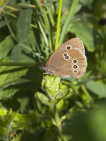 aphantopus: a ringlet butterfly aphantopus hyperantus resting among green leaves Stock Photo
