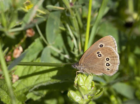 profile of a ringlet butterfly aphantopus hyperantus on green leaves photo
