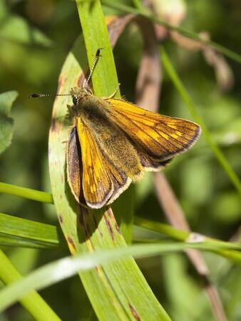 ochlodes: a large skipper butterfly ochlodes venatus resting among green leaves