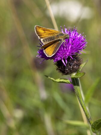 ochlodes: a large skipper butterfly ochlodes venatus feeding on a knapweed flower Stock Photo