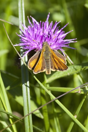 ochlodes: a large skipper butterfly ochlodes venatus resting on a grass leaf