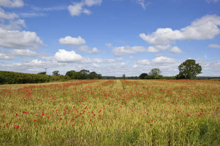 red poppies flowering in an english landscape under a summer sky with fluffy white clouds photo