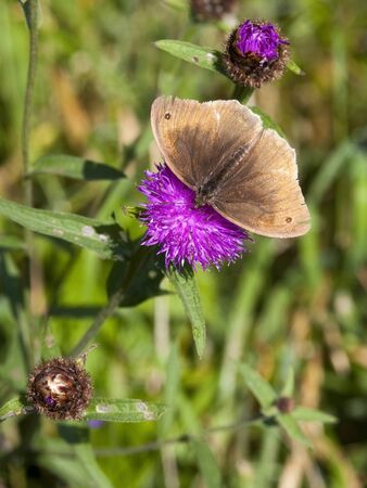 a ringlet butterfly aphantopus hyperantus feeding on a purple knapweed flower photo