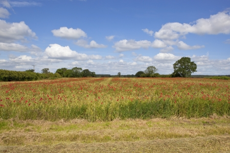 fluffy white clouds and blue summer sky over red poppies flowering in a small wheat field in rural england photo