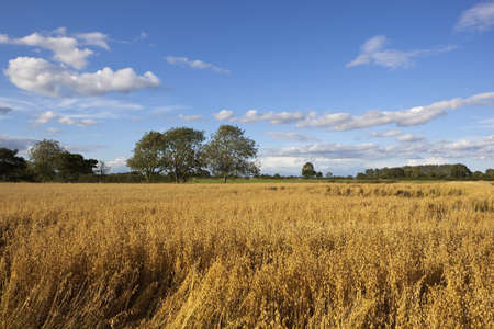late summer english landscape with a field of golden oats trees and hedgerows under a blue sky with fluffy white clouds photo