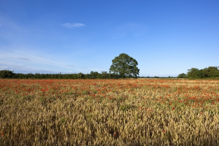 a late summer english landscape with red poppies flowering in a field of ripening wheat under a blue sky photo