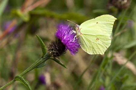 a brimstone butterfly gonepteryx rhamni on a knapweed flower photo