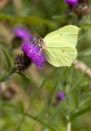 fauna and flora image of a male brimstone butterfly gonepteryx rhamni feeding from the purple flower of a knapweed plant photo
