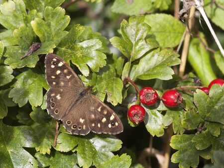 speckled wood: a speckled wood butterfly pararge aegeria on a background of hawthorn leaves and ripe berries