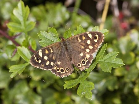 speckled wood: a speckled wood butterfly pararge aegeria resting on hawthorn leaves