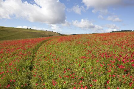 a yorkshire wolds landscape in england with a field of poppies in the foreground under a blue cloudy sky in late summer Stock Photo - 15221572