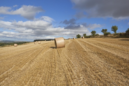 harvest time in a hillside field on the scenic yorshire wolds england with large round straw bales under a cloudy blue sky in late summer