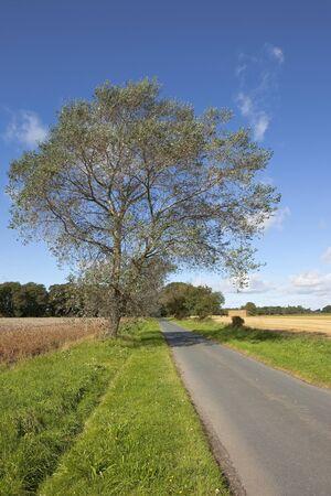 grass verge: un paesaggio inglese autunno con un albero di pioppo bianco, che cresce su un rigoglioso prato sull'orlo sul ciglio di una strada rurale attraverso terreni agricoli sotto un cielo blu