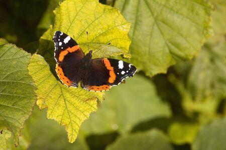 albero nocciola: un rosso ammiraglio farfalla vanessa atalanta crogiolarsi al sole sulla foglia di un albero di nocciolo Archivio Fotografico