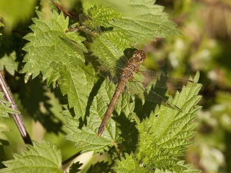 sympetrum: a common sympetrum dragonfly latin name sympetrum striolatum resting on the leaves of a stinging nettle plant
