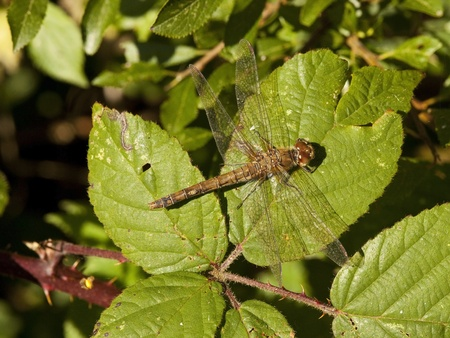 a common sympetrum dragonfly latin name sympetrum striolatum resting on the leaves of a blackberry bush photo
