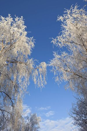 betula pendula: clear blue winter sky and frosted silver birch background