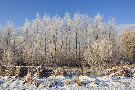 sub zero: a sub zero rural landscape with young saplings covered in frost under a blue sky Stock Photo
